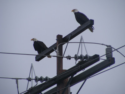 Why do birds sit on telephone lines?